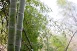 Bamboo trees.