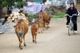 Cow family.