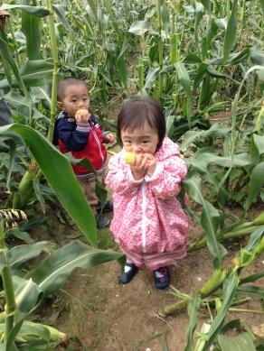 Sweet corn picking!