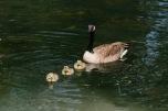 Cute ducklings.
